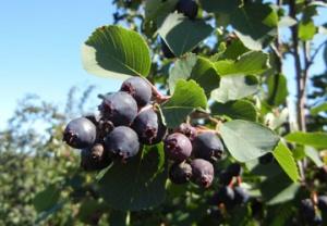 El proyecto considera la introducción en Chile de cuatro mil plantas de saskatoon berries.