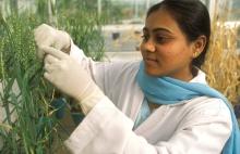 Una investigadora de la India obtiene semillas de una variedad de trigo para realizar mejoras genéticas