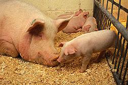 Científicos del ARS han descubierto que una mutación genética es la causa de un síndrome de estrés nuevamente identificado en los cerdos