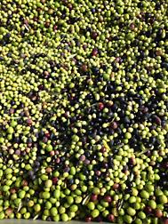 Científicos del ARS están desarrollando métodos económicos de procesar los residuos de olivas—las pieles, la pulpa y las semillas que se queden después de la extracción del aceite—para hacer nuevos productos que tienen un valor más alto..