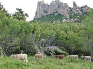 Foto: Rebaño de vacas de la raza parda del Pirineo pastando en la finca del Coll de Can Maçana