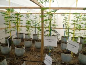 Invernadero con cultivos de Moringa U. de Chile
