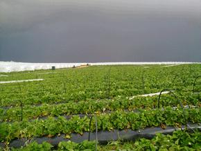 España es el segundo productor mundial de fresa, concentrando en la provincia de Huelva alrededor del 90% de la explotación. /UHU.