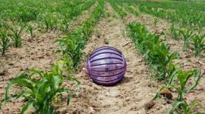 Un-robot-bola-surca-los-campos-de-cultivo_image365_