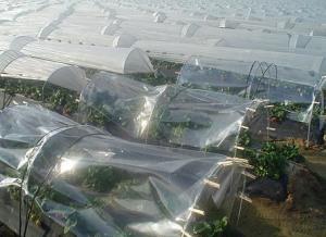 La bajas temperaturas y un alto grado de humedad relativa benefician a la fresa. / Archivo