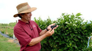 Dr. John R. Clark, fruit breeder, describes Prime-Ark® Freedom, the latest primocane fruiting blackberry released by the University of Arkansas System Division of Agriculture.
