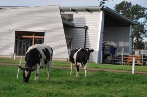 vacas leche