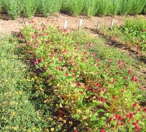 Es necesario conocer el comportamiento de la variedad de alfalfa en cada una de las condiciones agroecológicas de nuestro país.