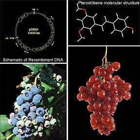 Científicos del ARS han desarrollado una estrategia que involucra dos genes y que puede aumentar la producción del fitoquímico beneficioso llamado pteroestilbeno en cultivos tales como los arándanos que ya producen el compuesto, y puede agregar el compuesto a los cultivos que no comúnmente lo produce, tales como las uvas.