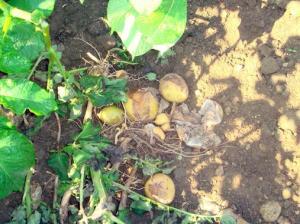 Constatan-por-primera-vez-la-presencia-en-Alava-de-los-dos-tipos-de-reproduccion-del-hongo-causante-del-mildiu-de-la-patata_image_380